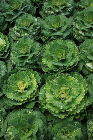 Decorative coloured cabbage on plant Stock Photo