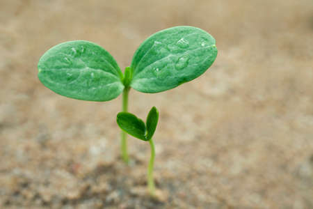Close up of watermelon sprout