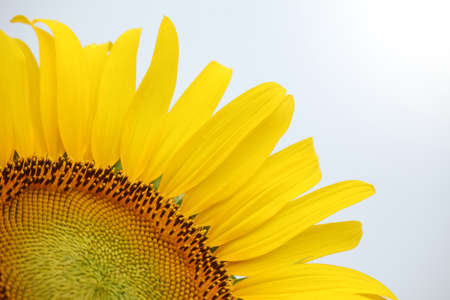 Close up of yellow sunflower on plant Stock Photo