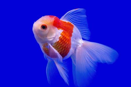 Goldfish isolated on blue background Stock fotó