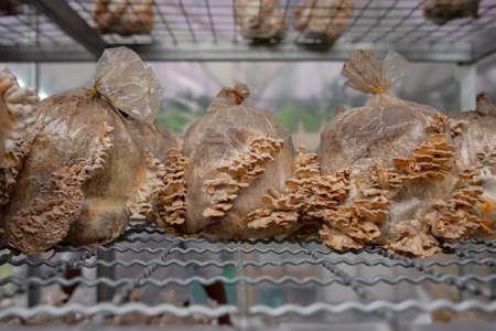Mushrooms frown on the farm, Thailand Stok Fotoğraf