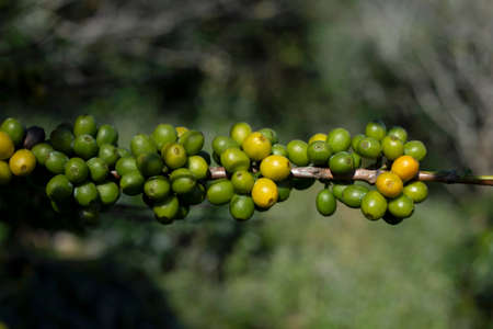 Green coffee beans on plant