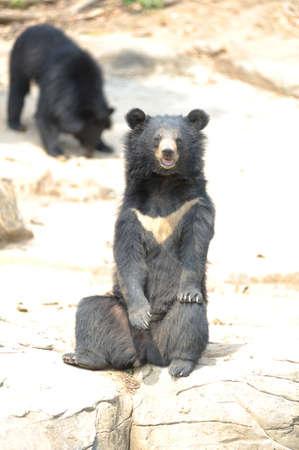 similar images preview: Asiatic black bear