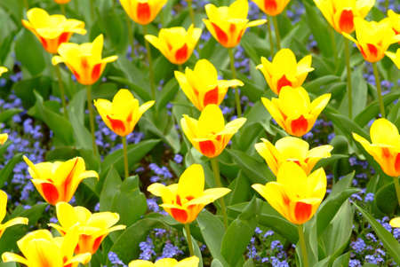yellow red tulips photo