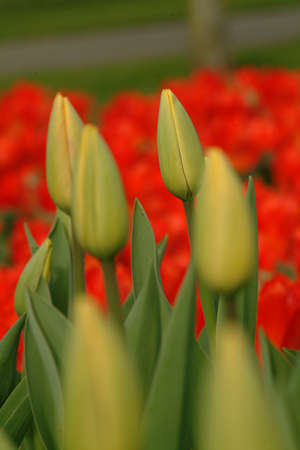 closed blossom infront red field of tulips  photo