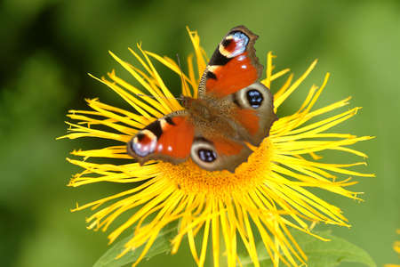 reproduction animal: butterfly on yellow flower