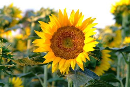 single sunflowers in field photo