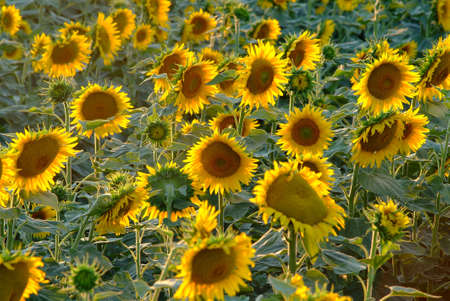 field of sunflowers and blue sky photo