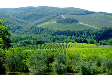 green vineyard idyll in the toscana