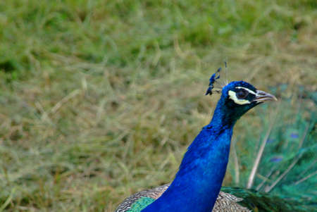 close up from a peacock in the park photo