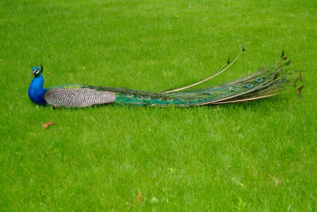 a colourful peacock lying in the meadow photo