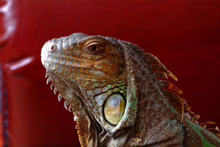the head of an iguana in lateral view Stock Photo