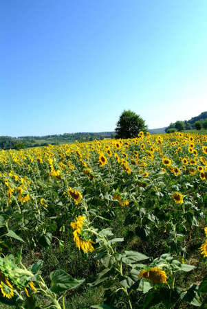 a panorama of an field of sunflowers and blue sky photo
