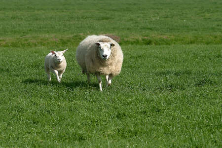 a sheep on a green field or meadow photo