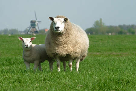 a sheep on a green field or meadow