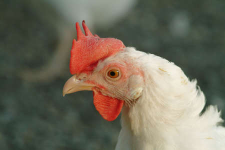 a detail of a head of a white chicken photo