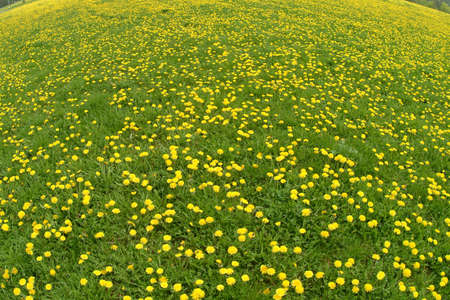 gorgios: a green field of dandelion all over