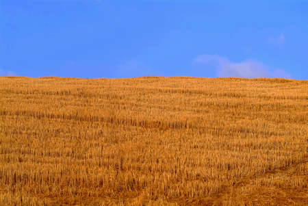 roomy: a roomy cornfield in the tuscany and blue sky