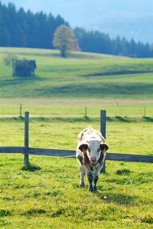 rooted: a cow on the willow eats grass Stock Photo