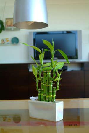lucky bamboo in white oblong flowerpot on glass table Stock Photo