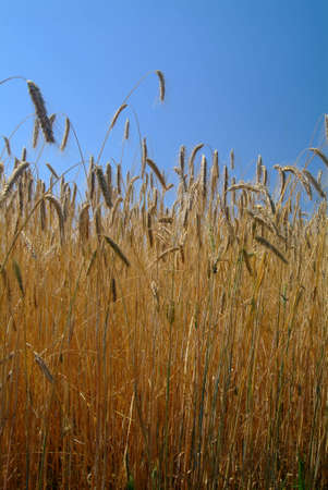 golden wheat on sunny field with blue sky Stock Photo
