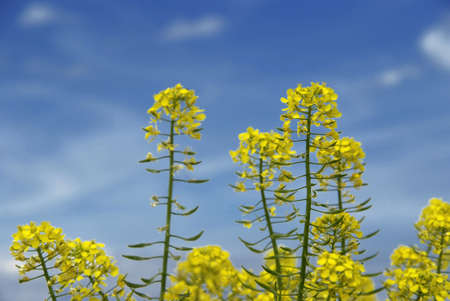 close-up blooming raps under blue sky with white clouds