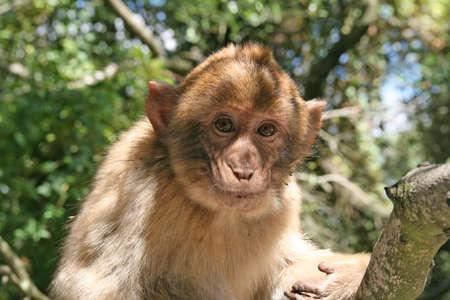 inocent: the monkey