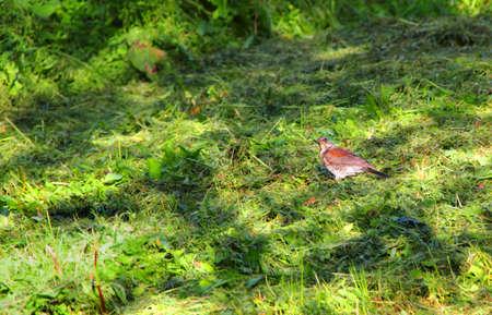 Beautiful bird on green grass in summer Stock Photo