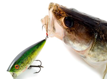 double game: big fish pike perch predator isolated on white background Stock Photo