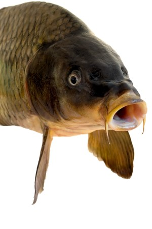carp head close-up isolated on white background Stock Photo - 4578144