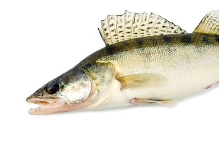 fish walleye zander pike-perch  Stock Photo - 4597360