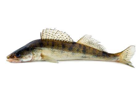 fish zander fang  Stock Photo - 4597675