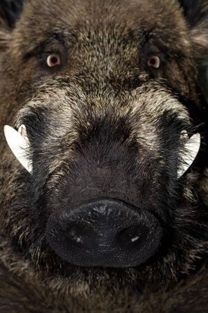wild boar Stock Photo - 4603391