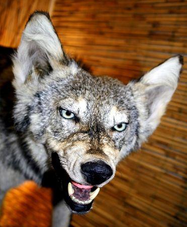 wolf  Фото со стока
