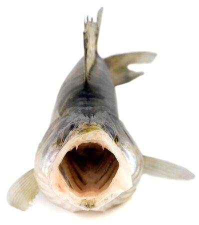 pike: zander fish with open mouth close-up isolated on white background Stock Photo