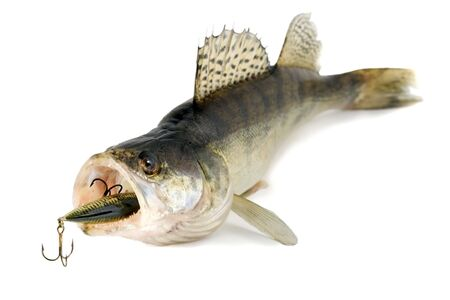 jigging: predator , fish predator isolated on white background