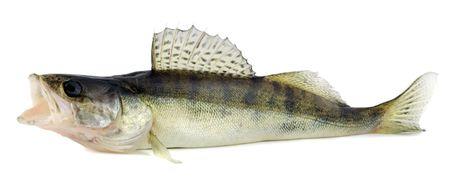 Walleye or Zander isolated on white background Stock Photo - 5448096