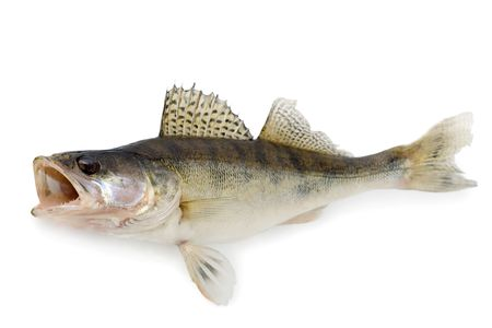 Walleye or Zander Stock Photo