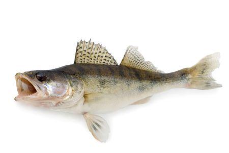 Walleye or Zander Фото со стока