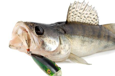 fish walleye zander isolated on white background photo