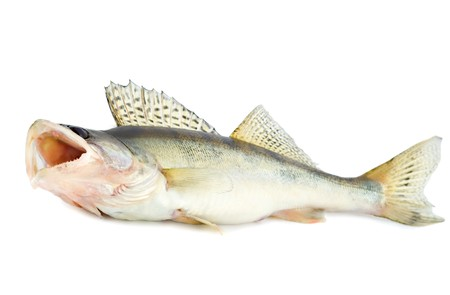 walleye: fish walleye zander pike-perch , isolated on white background