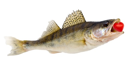 walleye: Jumping fish red heart bait isolated on white background Stock Photo