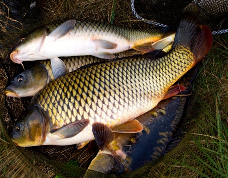 escamas de peces: peces carpa en el fondo de redes de pesca Foto de archivo