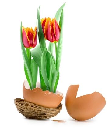 tulips bloom in easter egg nest photo