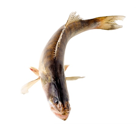 pike perch isolated on white background  photo