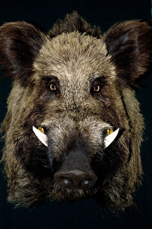 wild boar in black Stock Photo