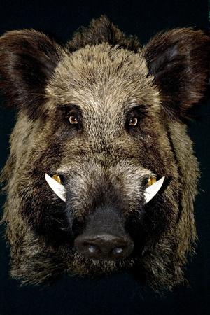 Wildschwein: Wildschwein in schwarz