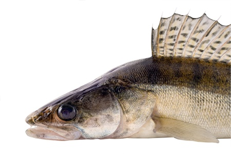 zander pike-perch photo