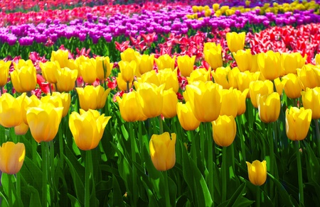 tulips in green grass: Tulips field yellow flower background