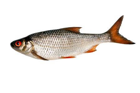 fish silver isolated on white background Stock Photo - 13857058